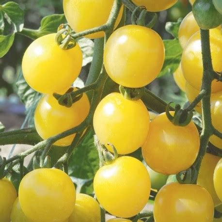 Tomate Mirabelle blanche -Graines tomate cerise